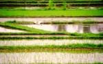 Travel Photo Thursday, January 6, 2010…Soaring Over the Rice Fields of Ubud