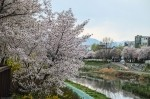 Cherry Blossoms in Korea 2014