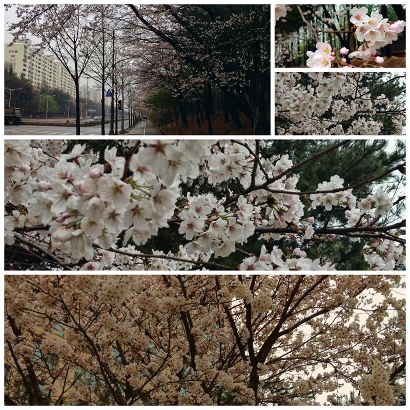 Cherry Blossoms, Daejeon, Korea